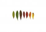 Colour Analysis Berberis Julianae (in- dividual plant)